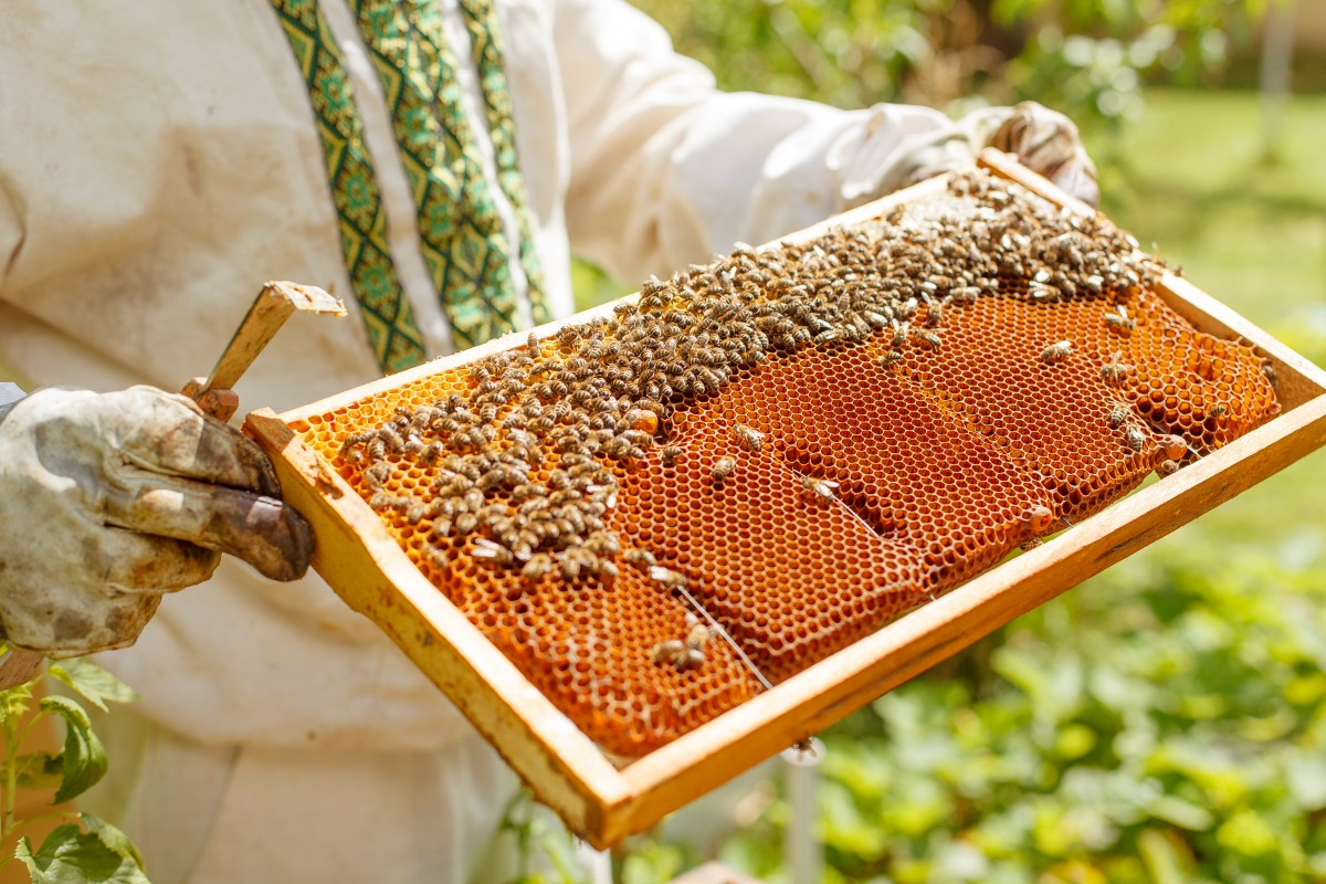 A beekeeper inspects a honeycomb frame